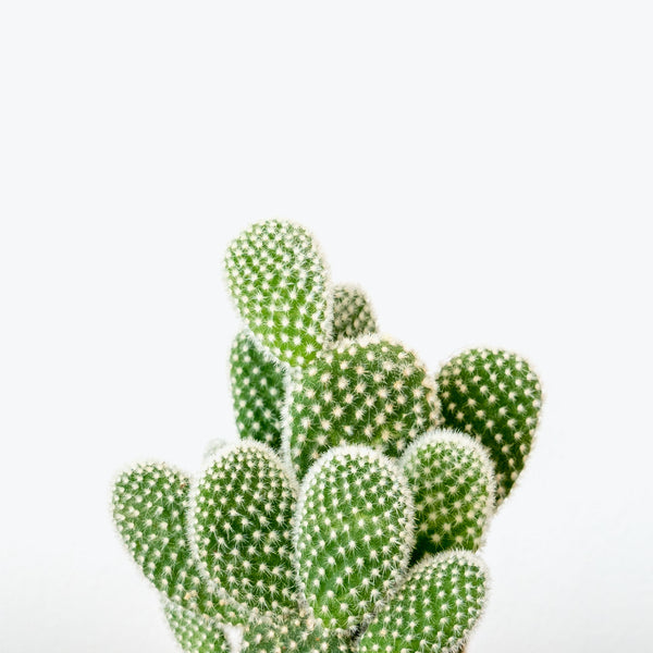 Bunny Ear Cactus - House Plants Delivery Toronto - JOMO Studio