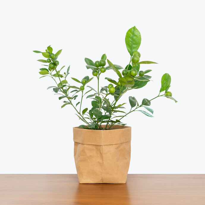 Calamondin Orange Tree - House Plants Delivery Toronto - JOMO Studio