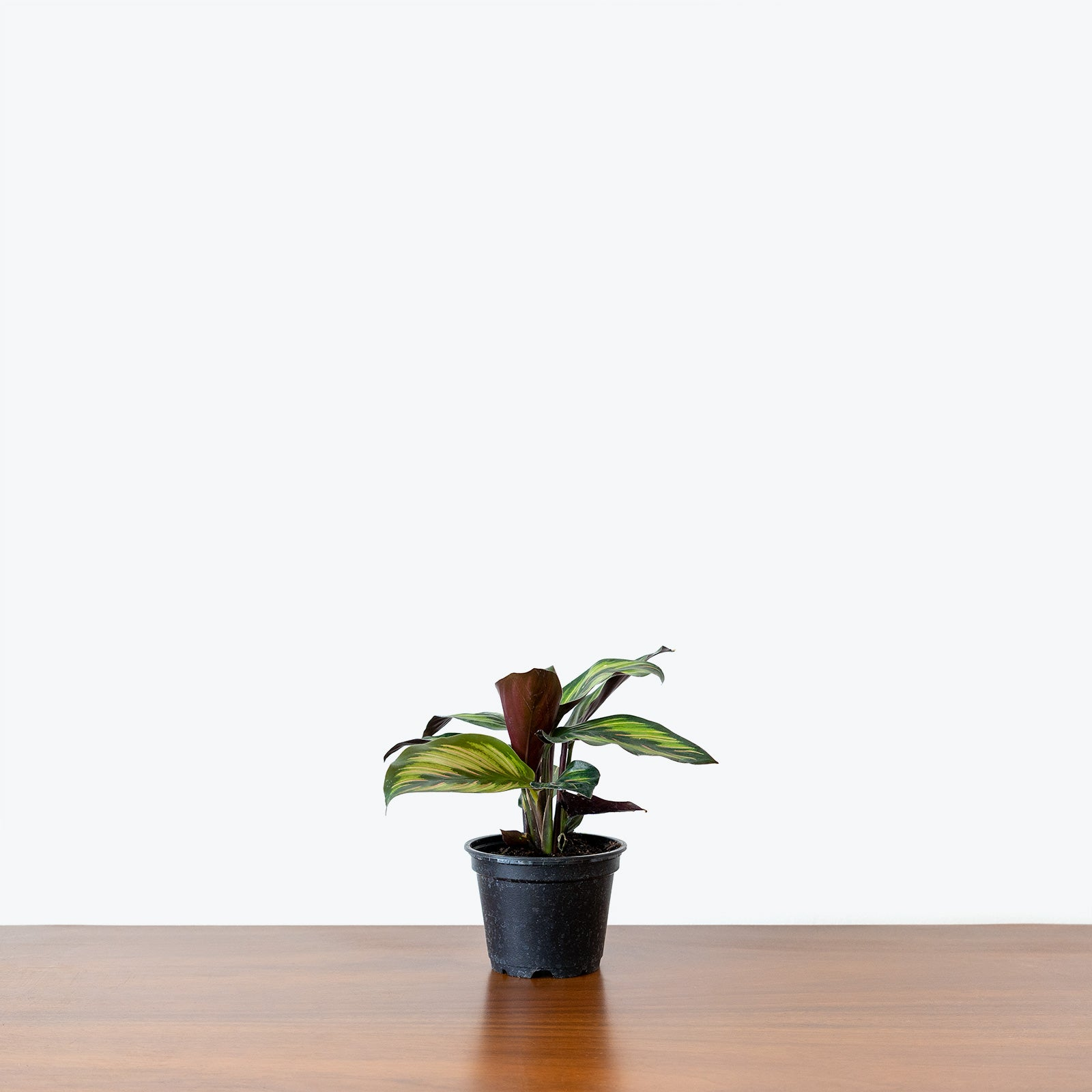 Calathea Beauty Star - Toronto House Plant Delivery - JOMO Studio