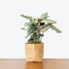 Load image into Gallery viewer, Calathea Majestica White Star - Toronto House Plant Delivery - JOMO Studio