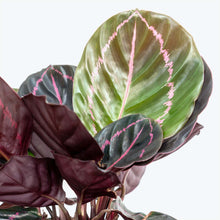 Load image into Gallery viewer, Calathea Roseopicta Dottie - Toronto House Plant Delivery - JOMO Studio