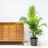 Cat Palm - Chamaedorea Cataractarum - House Plants Delivery Toronto - JOMO Studio