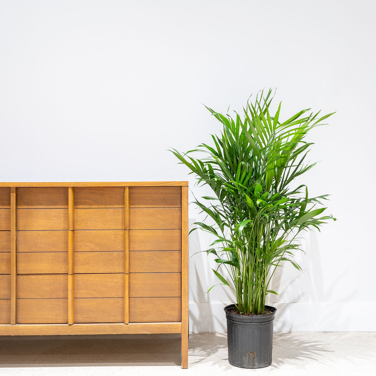 How to Take Care of Your Palm - Toronto Plant Delivery - JOMO Studio