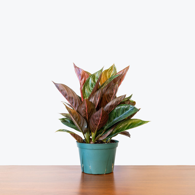 Chinese Evergreen Chocolate - House Plants Delivery Toronto - JOMO Studio