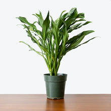 Load image into Gallery viewer, Chinese Evergreen Juliette - House Plants Delivery Toronto - JOMO Studio