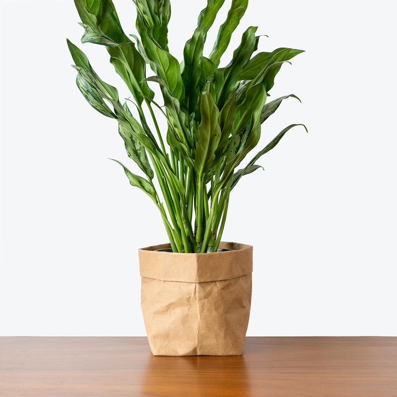 Chinese Evergreen Juliette - House Plants Delivery Toronto - JOMO Studio