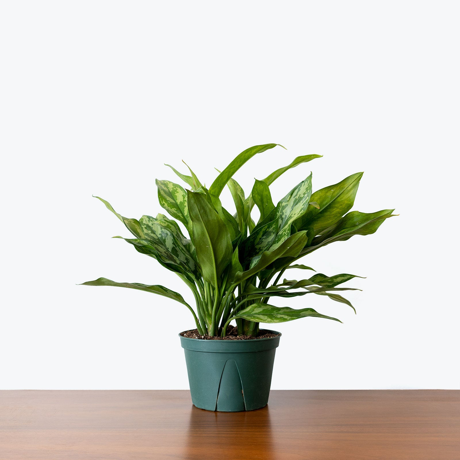 Chinese Evergreen Maria - House Plants Delivery Toronto - JOMO Studio