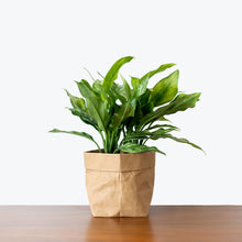 Load image into Gallery viewer, Chinese Evergreen Maria - House Plants Delivery Toronto - JOMO Studio