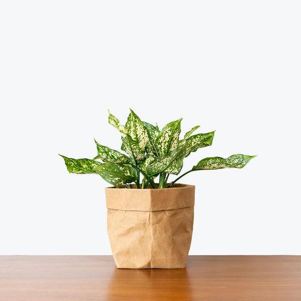Chinese Evergreen Osaka White - House Plants Delivery Toronto - JOMO Studio