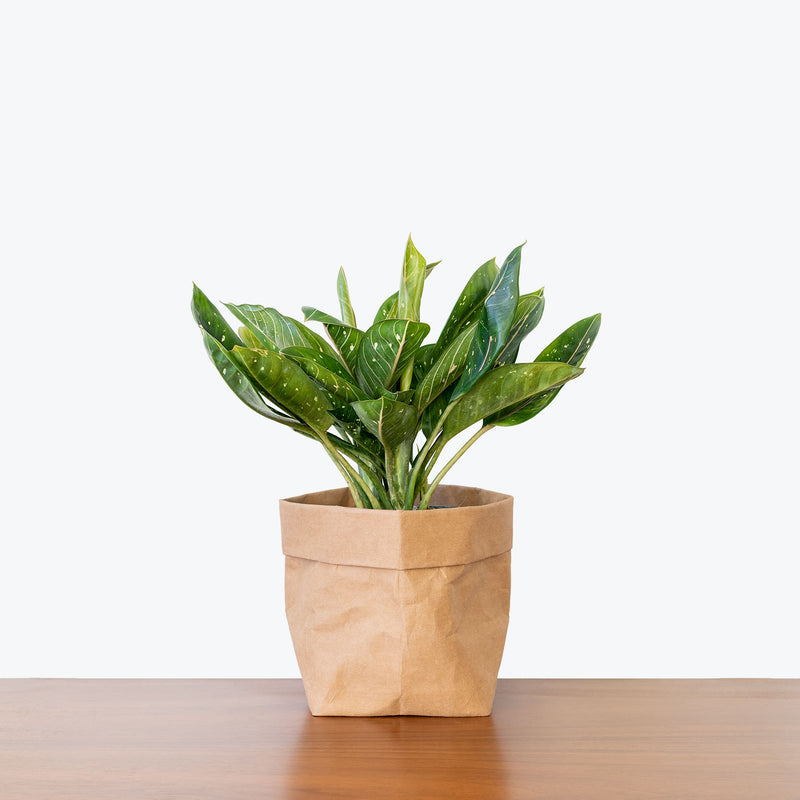 Chinese Evergreen Pink Moon - House Plants Delivery Toronto - JOMO Studio