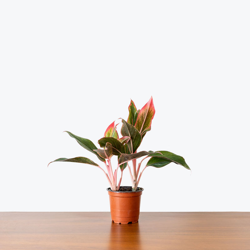 Chinese Evergreen Red Siam - House Plants Delivery Toronto - JOMO Studio