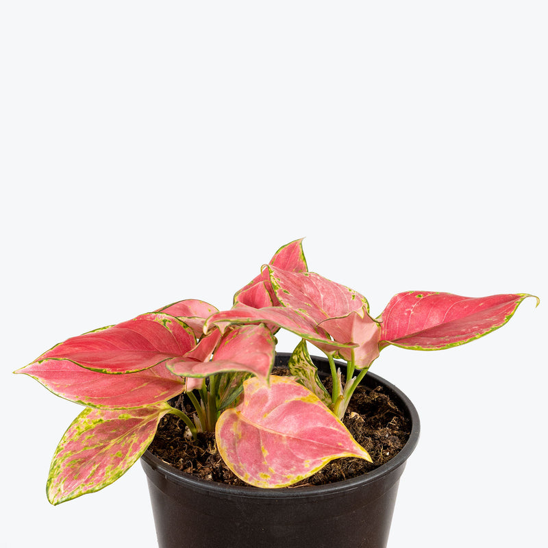 Chinese Evergreen Aglaonema Red Wishes - House Plants Delivery Toronto - JOMO Studio
