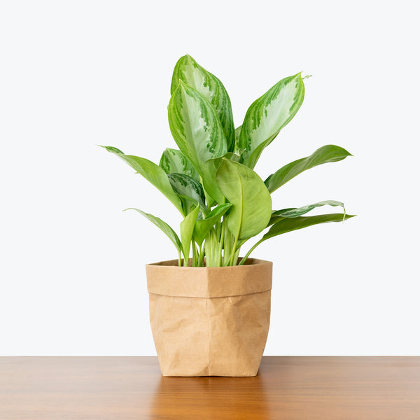 Chinese Evergreen Silver Bay - House Plants Delivery Toronto - JOMO Studio