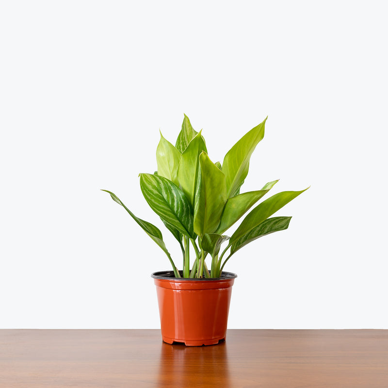 Chinese Evergreen Aglaonema Stripes - House Plants Delivery Toronto - JOMO Studio