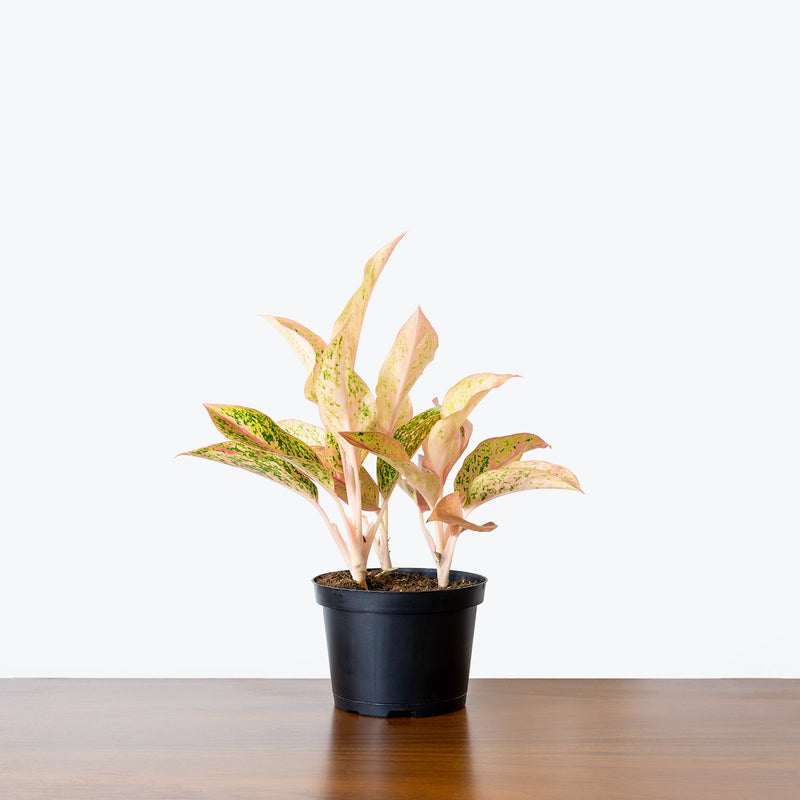Chinese Evergreen Watermelon - House Plants Delivery Toronto - JOMO Studio