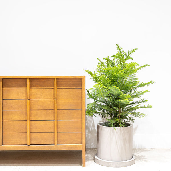 Norfolk Island Pine - Christmas Tree Alternative  - House Plants Delivery Toronto - JOMO Studio