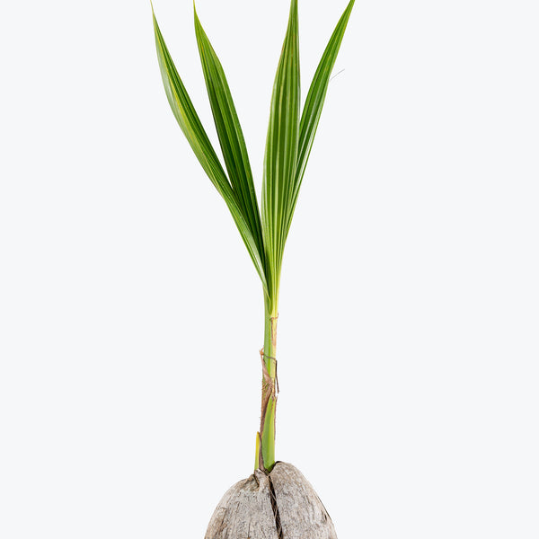 Coconut Palm - House Plants Delivery Toronto - JOMO Studio