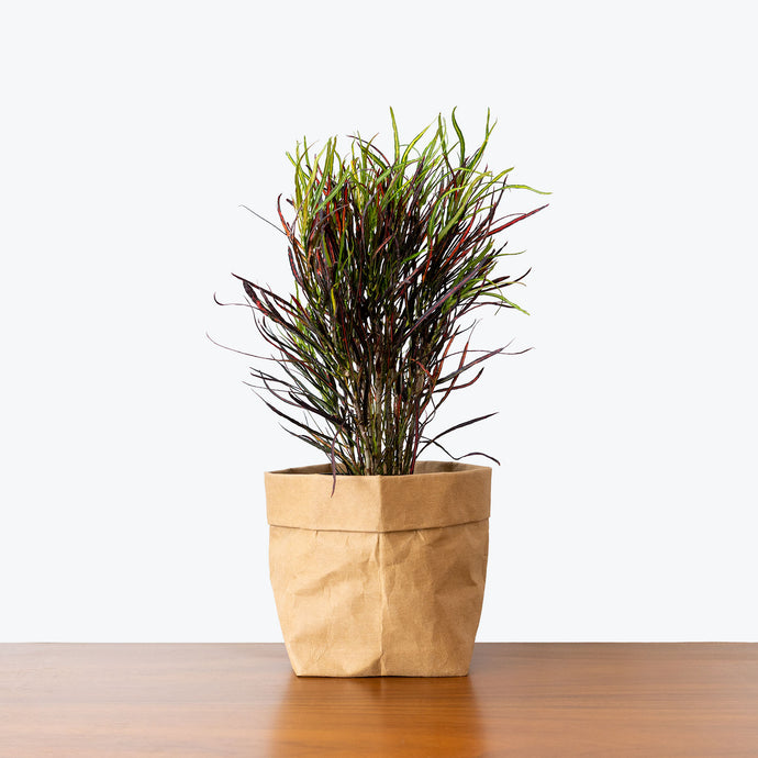 Croton Picasso's Paintbrush - House Plants Delivery Toronto - JOMO Studio
