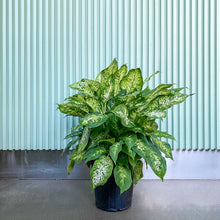 Load image into Gallery viewer, Dieffenbachia Amy - House Plants Delivery Toronto - JOMO Studio