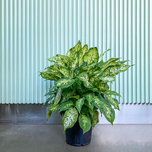 Dieffenbachia Amy - House Plants Delivery Toronto - JOMO Studio