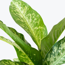 Load image into Gallery viewer, Dieffenbachia Snow - House Plants Delivery Toronto - JOMO Studio