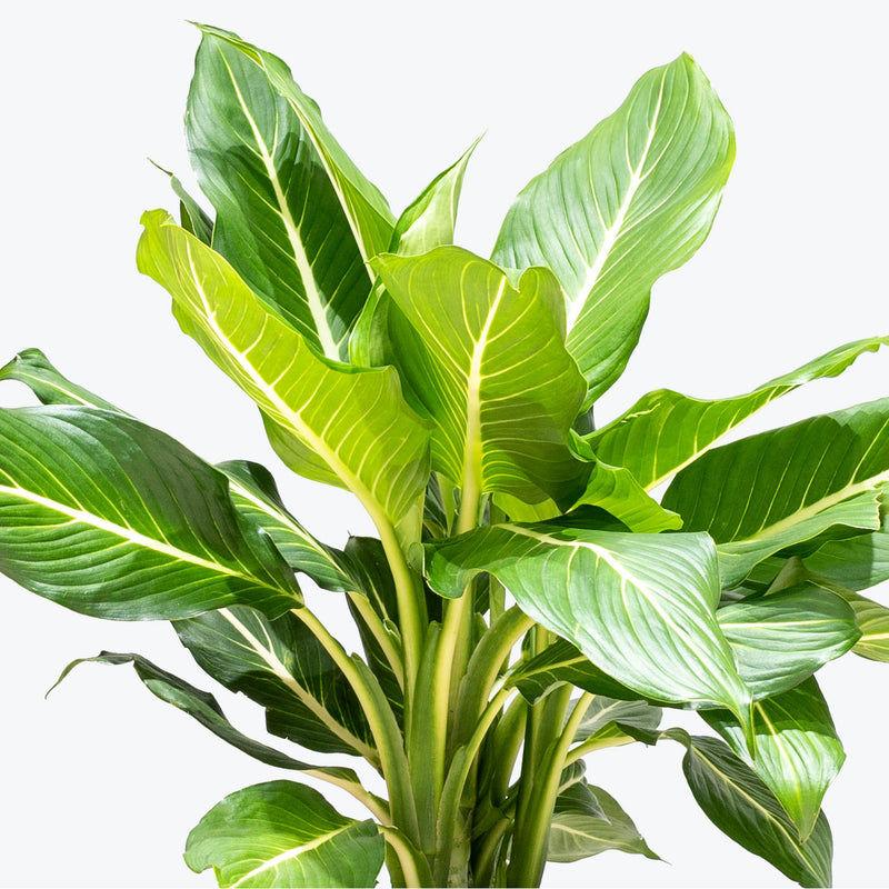 Dieffenbachia Sterling - House Plants Delivery Toronto - JOMO Studio