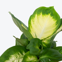 Load image into Gallery viewer, Dieffenbachia Tropic Marianne - House Plants Delivery Toronto - JOMO Studio
