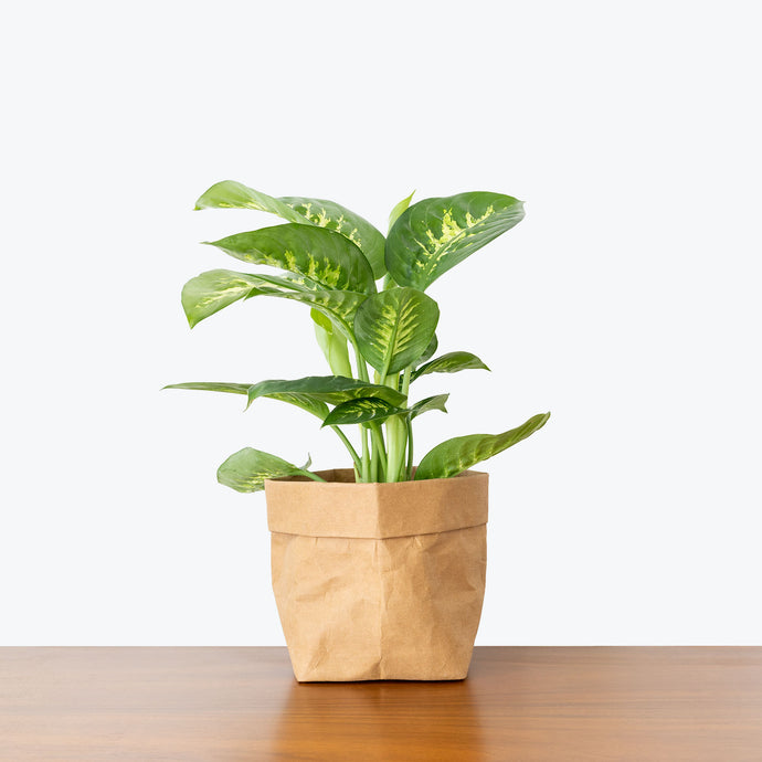Dieffenbachia Tropic Snow - House Plants Delivery Toronto - JOMO Studio