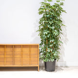 Dwarf Umbrella Tree - House Plants Delivery Toronto - JOMO Studio