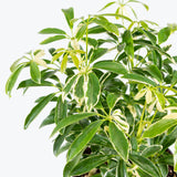 Dwarf Umbrella Tree Variegata - House Plants Delivery Toronto - JOMO Studio