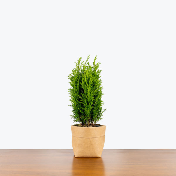 Empire Cypress - Chamaecyparis Lawsoniana Ellwood's Empire - House Plants Delivery Toronto - JOMO Studio