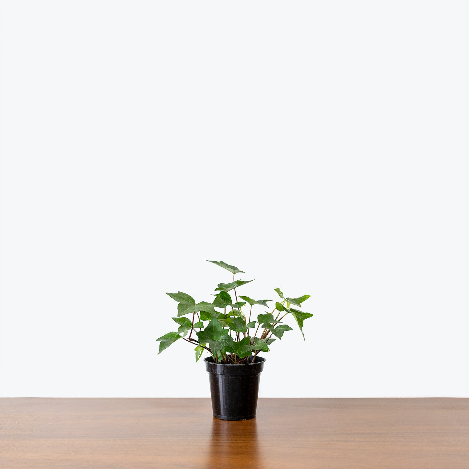 English Ivy - House Plants Delivery Toronto - JOMO Studio