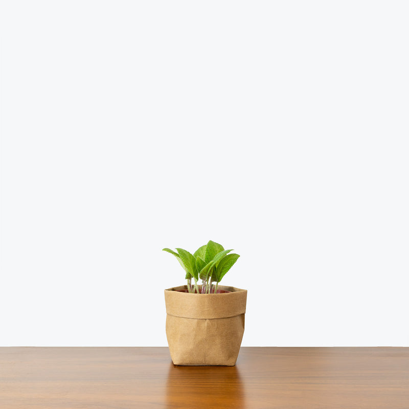Episcia Lil Lemon - House Plants Delivery Toronto - JOMO Studio