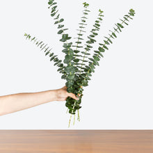 Load image into Gallery viewer, Eucalyptus Tree and Cuttings - House Plants Delivery Toronto - JOMO Studio