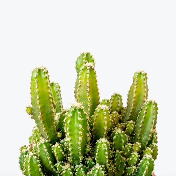Fairy Castle Cactus - House Plants Delivery Toronto - JOMO Studio