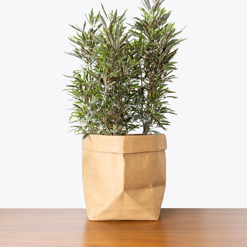 False Aralia - House Plants Delivery Toronto - JOMO Studio