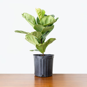 Fiddle Leaf Fig - House Plants Delivery Toronto - JOMO Studio
