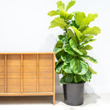 Fiddle Leaf Fig Bush - House Plants Delivery Toronto - JOMO Studio