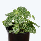 Fittonia Nerve Plant White - House Plants Delivery Toronto - JOMO Studio