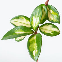 Load image into Gallery viewer, Hoya Carnosa Krimson Princess - House Plants Delivery Toronto - JOMO Studio