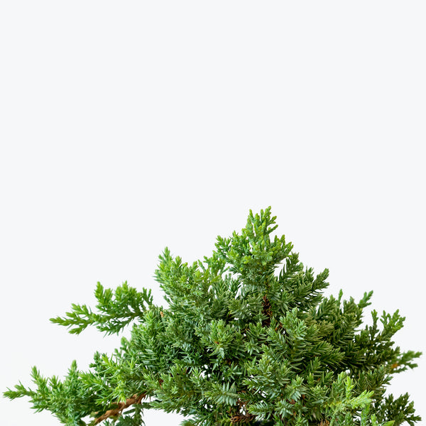 Juniper Bonsai - House Plants Delivery Toronto - JOMO Studio
