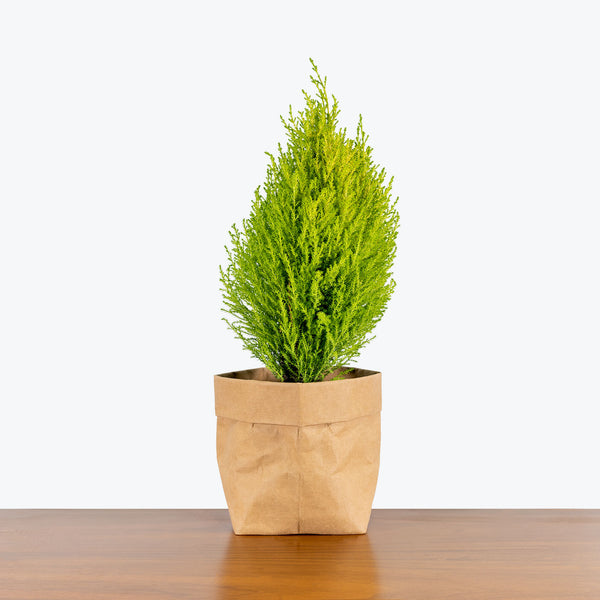 Lemon Cypress - Cupressus Macrocarpa Goldcrest - House Plants Delivery Toronto - JOMO Studio