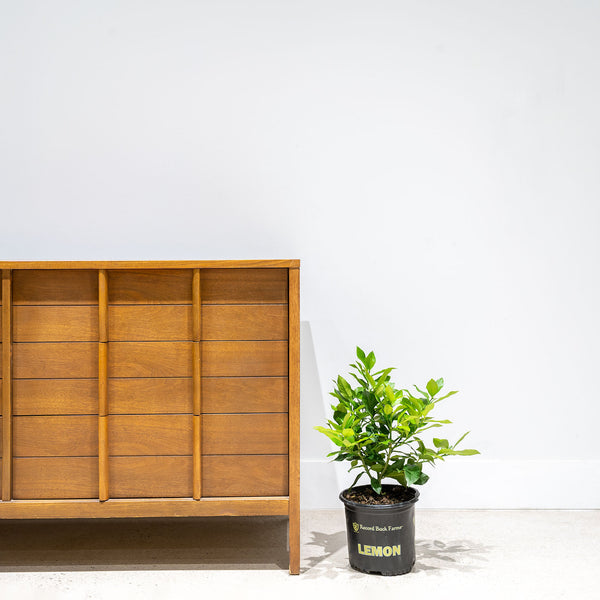 Lemon Tree - House Plants Delivery Toronto - JOMO Studio