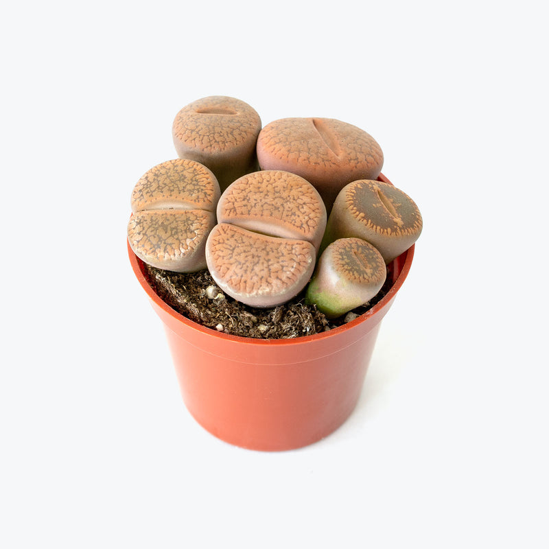 Living Stone Lithops - House Plants Delivery Toronto - JOMO Studio