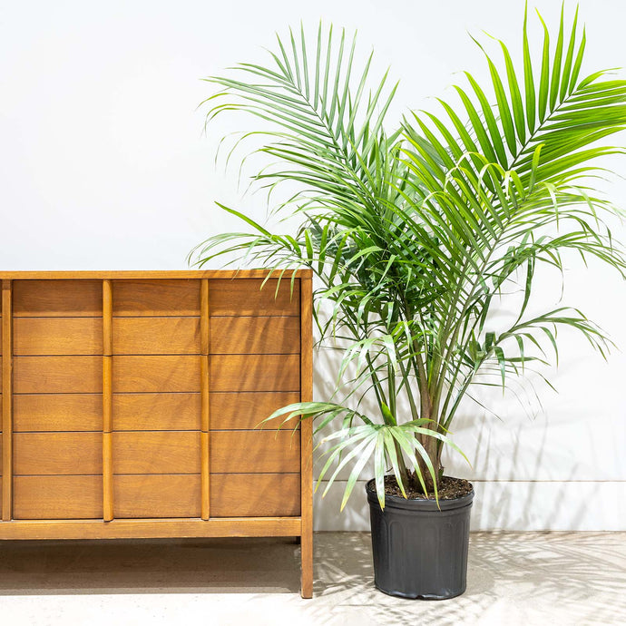Majesty Palm - House Plants Delivery Toronto - JOMO Studio