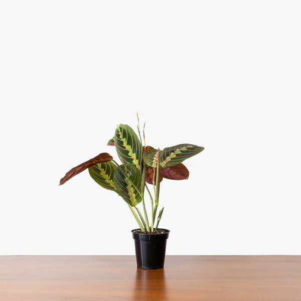 Maranta Red Prayer Plant - Toronto House Plant Delivery - JOMO Studio