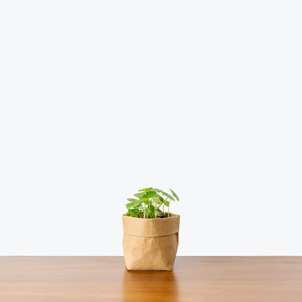 Marsh Pennywort -  House Plants Delivery Toronto - JOMO Studio