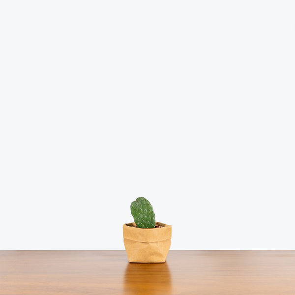 Mini Cactus Mystery Box - House Plants Delivery Toronto - JOMO Studio