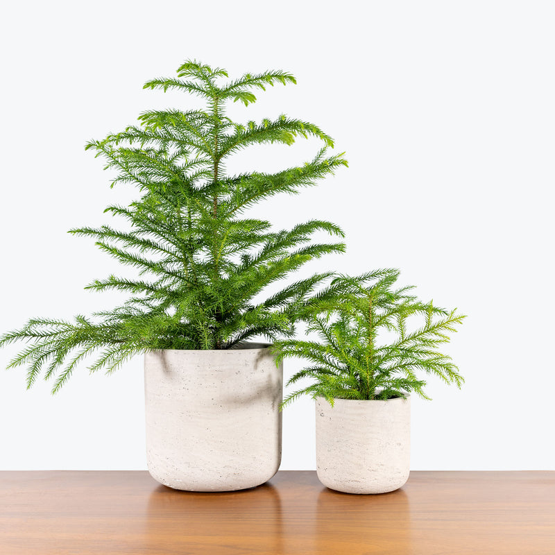 Modern Concrete Planter - House Plants Delivery Toronto - JOMO Studio