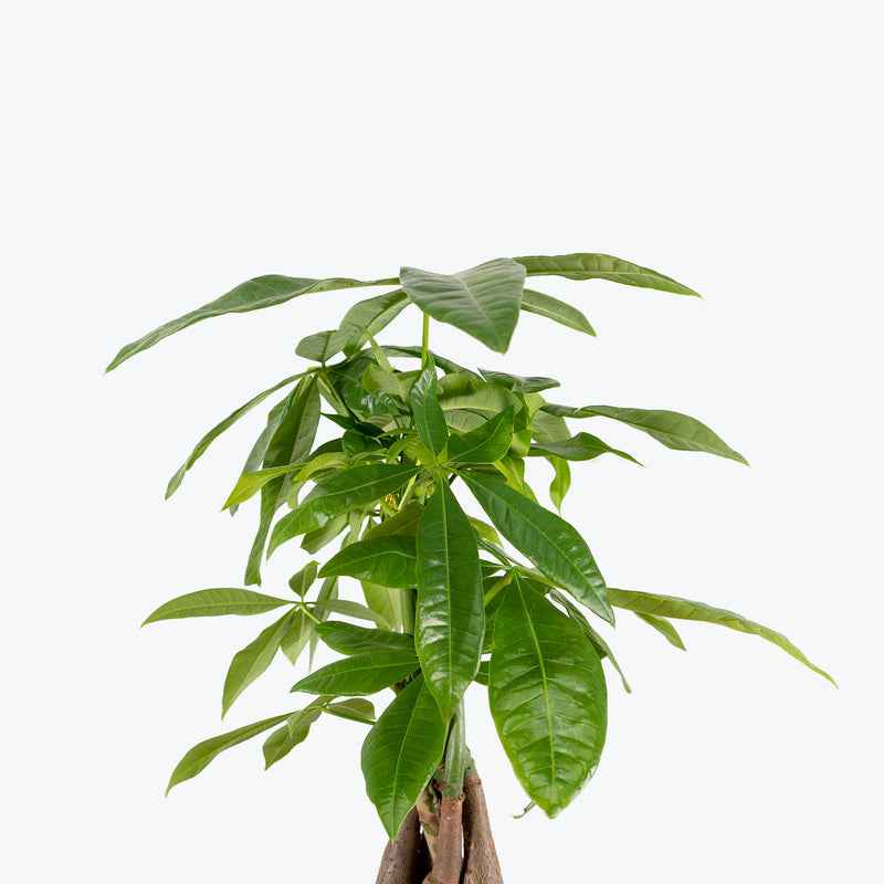 Money Tree - Pachira Aquatica - House Plants Delivery Toronto - JOMO Studio